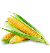 Купить посевной материал кукурузы качество лучшее