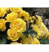 Кустовые розы купить саженцы купить недорого!
