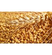 Купить элитные семена пшеницы в Запорожье!