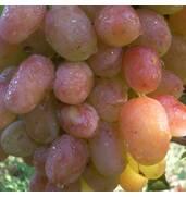 Саженцы винограда по почте купить