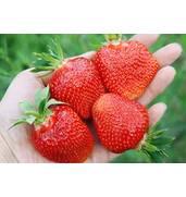 Купить рассаду клубники оптом от BerryShop