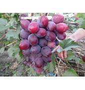Предлагаем лучшие винные сорта винограда