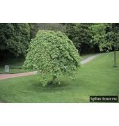 Декоративні листяні дерева: пропонуємо в'яз плакучий
