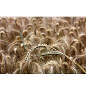 Зерно ржи купить в Харькове