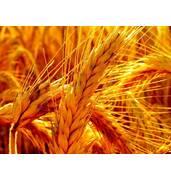 Купить элитные семена зерновых культур Тернополь