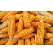 Купити кукурудзу оптом можна у нас!