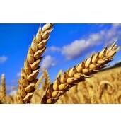 Пшеница второй класс купить оптом в Николаеве