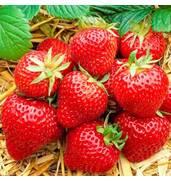 Саженцы клубники оптом можно приобрести в Berries!