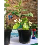 Павловський лимон купити високоврожайну рослину!