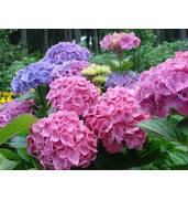 Гортензия садовая крупнолистная — украшение Вашего сада!
