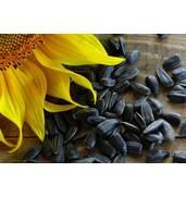 Виробництво смаженого насіння за найвищими стандартами