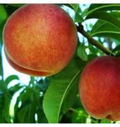 У наявності саджанці персиків