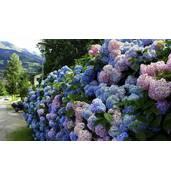 Гортензія стане прекрасою Вашого саду