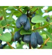 Жимолость съедобная - источник витаминов и антиоксидантов!