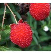 Земляничная малина - находка для вашего сада!