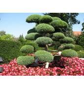 Придбайте карликові декоративні дерева за вигідною ціною