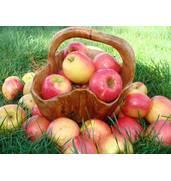 """Замовляйте яблука Пінова від ПП """"Голд Сад""""."""