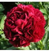Пион - удивительное украшение вашего цветника!