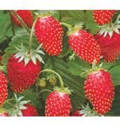 """Саджанці полуниці наявні в асортименті інтернет-магазину """"Berries""""."""