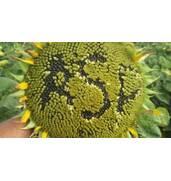 Агроспецпроект - семена подсолнечника по доступной цене