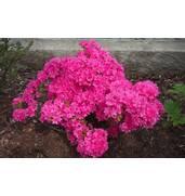 Азалия розовая по доступной цене продается на нашем сайте