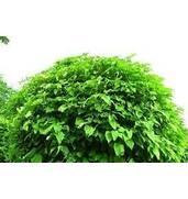 Приобретите декоративные лиственные деревья почте на нашем сайте