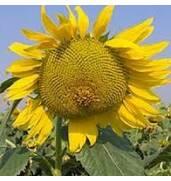 Покупайте семена подсолнечника Жалон недорого на нашем портале!