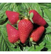 Купуйте розсаду полуниці оптом саме у нас