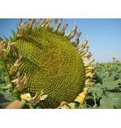 Приобретите гибридные семена оптом по доступной цене на нашем портале