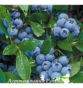 Пропонуємо купити садженці лохини оптом з доставкою по Україні