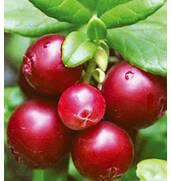 Пропонуємо купити саджанці журавлини з доставкою по Україні