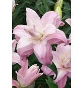 Для заказа доступен сорт лилий Accolade