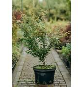 Предлагаем саженцы лиственных деревьев купить недорого у нас на сайте!