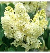 Придбайте саджанці білого бузку з фантастичним запахом