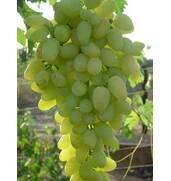 Пропонуємо виноград Зірниця купити не за всі гроші на нашому порталі