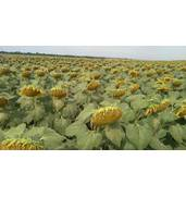 Нужны семена подсолнечника? Покупайте на нашем сайте онлайн!