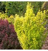 Посадите барбарис у своего дома! Саженцы барбариса - недорого!
