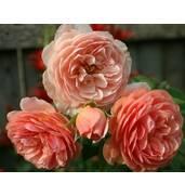 "Пахучий сорт роз ""Уильям Моррис"" доступен для заказа"