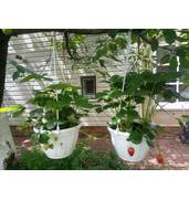 Купуйте розсаду полуниці на нашому порталі недорого