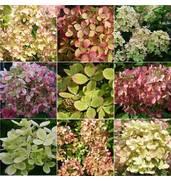 Цветная гортензия для вашего сада на заказ