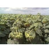 Приобретите семена подсолнечника гибридные недорого на нашем портале