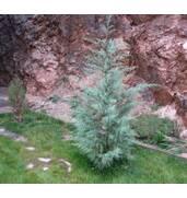 Саджанці вічнозелених: купити кипарис