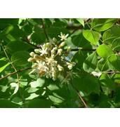 Мильне дерево (бундук канадський): купити саджанці