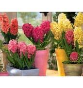 Продажа в Украине: луковицы гиацинтов