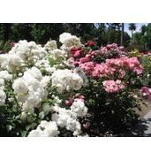 Кустовые розы: саженцы роз из питомника