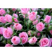 Элитные сорта саженцев полиантовых роз оптом
