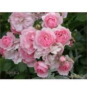 Саженцы роз флорибунда по доступным ценам