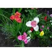 Луковицы цветов почтой: тюльпаны, лилии, крокусы, фрезии