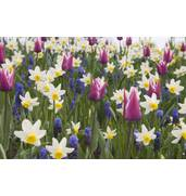 Луковицы цветов: гиацинтов, крокусов, лилий, тюльпанов в розницу и оптом