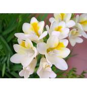 Луковицы цветов: предлагаем купить луковицы фрезии Yellow, White, Rose, Blue